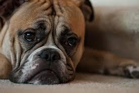 sad bulldog